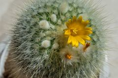 Detail of cactus with yellow flower. Just popped, plant, nature, green, succulent, background, garden, botany, desert, flora, natural, leaf, botanical, white royalty free stock photo