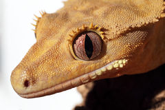 Detail of a caledonian crested gecko Stock Images
