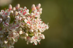 Detail of California Buckwheat royalty free stock images