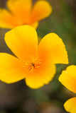 Detail of Californian poppies Royalty Free Stock Photos