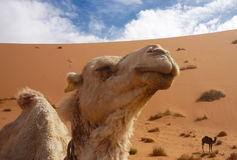 Detail of camel at Merzouga Royalty Free Stock Photo