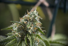 Detail of Cannabis cola & x28;ob ripper marijuana strain& x29; on late flo Royalty Free Stock Photography