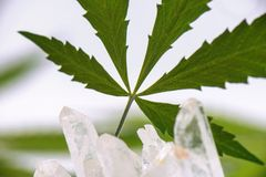 Detail of cannabis leaf isolated over white background Royalty Free Stock Photo