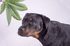 Detail of cannabis leaf and rottweiler dog isolated over white. Medical marijuana for pets concept Stock Photo