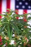 Detail of cannabis plant with fresh green leaves  Royalty Free Stock Photo
