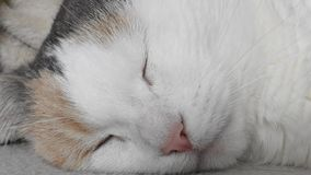 Detail of the Cat Head. Video with Detail of the Head of sleepy white Cat stock video