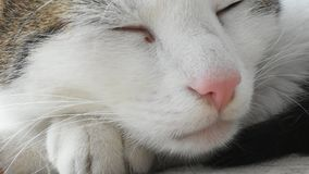 Detail of the Cat Head. Video with Detail of the Head of sleepy white Cat wirth dirty Eye stock video footage