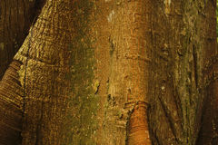 Detail of Ceiba, tropical tree, Background Royalty Free Stock Photo