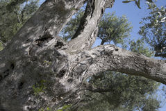 Detail of a centuries-old olive tree Stock Photos