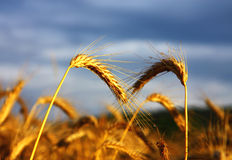 Detail of cereals spikes. Under stormy sky Stock Photography