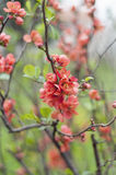 Detail of Chaenomeles japonica bush Stock Photography