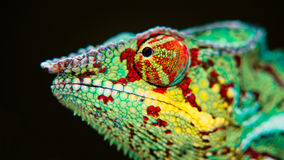 Detail of a chameleon. Royalty Free Stock Photos