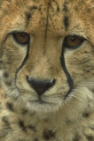Detail of cheetah. A detail of cheetahs' head Royalty Free Stock Image