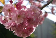 Detail of cherry blossoms Stock Image