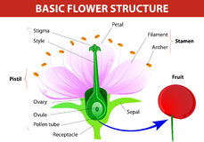 Detail of cherry flower. Anatomy of cherry flower. Flower and fruit. Vector diagram Royalty Free Stock Photography