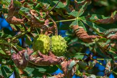 Chestnuts are hanging on the tree stock photography
