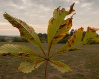 Detail of a chestnut leaf royalty free stock images