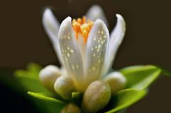 Detail of citrus flower with buds and petals stock photography