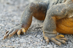 Detail of claws of wild land iguana Stock Image