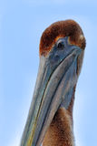 Detail close-up bill face portrait of pelican. Brown Pelican, Pelecanus occidentalis, Florida, USA. Pelican head with blue sky. Be Stock Photos
