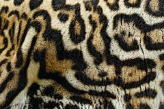 Detail close-up fur coat of wild cat. Wild cat from Costa Rica. Margay, Leopardis wiedii, beautiful cat sitting on the branch in t royalty free stock image