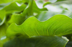 Detail close up of Green Leaf. Detail close up of abstract shape of a green leaf Royalty Free Stock Image