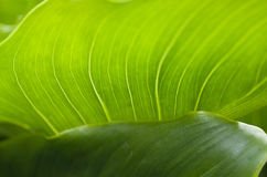 Detail close up of Green Leaf. Detail close up of abstract shape of a green leaf Royalty Free Stock Photography