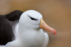 Detail close-up head portrait of bird. Portrait of Black-browed albatross, Thalassarche melanophris, white head with nice bill, on Stock Images