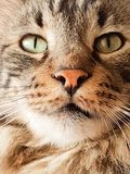 Close-up of a long-haired tabby cat stock photography