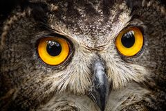 Detail close-up owl bubo bubo stock photography