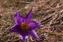 Detail Close-up of Pasque flowers in the meadow. stock photo