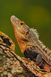 Detail close-up portrait of lizard. Reptile Black Iguana, Ctenosaura similis, sitting on black stone. Beautiful lizard head in the. Detail close-up portrait of royalty free stock photography