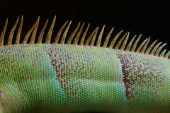 detail close-up view of the back and spine of sleeping marine iguana showing scales Stock Photo