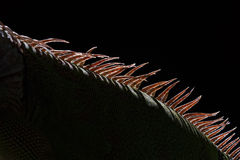 detail close-up view of the back and spine of sleeping marine iguana showing scales Stock Image