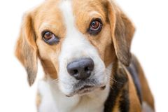 Portrait of a beagle in front of white background royalty free stock image