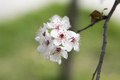 Cherry Blossom on branch Stock Photography