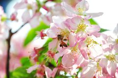 Detail closeup of a pink cherry flower will give nice scent that will start to attract bees and flies to start pollination. Spring scenic - bee flying to a twig Royalty Free Stock Photo