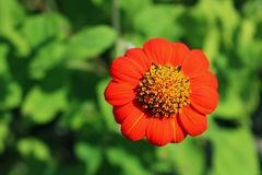 Closeup Red Mexican sunflower Stock Photos