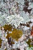 Detail and closeup of white and green lichens draping bark of old tree Royalty Free Stock Photos