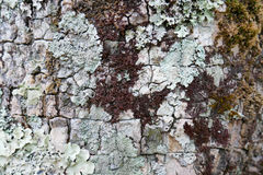 Detail and closeup of white and green lichens draping bark of old tree Royalty Free Stock Photography