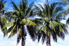 Coconut plam tree on sky, Vientiane, Laos Royalty Free Stock Photo