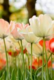 Detail color tulips Stock Photography