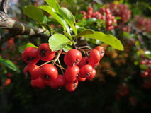 Detail of a colorful autumn berry on a bush Royalty Free Stock Photography