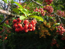 Detail of a colorful autumn berry on a bush Royalty Free Stock Photo
