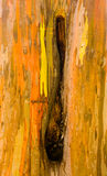 Detail of colorful bark of Rainbow Eucalyptus tree Royalty Free Stock Photos