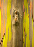 Detail of colorful bark of Rainbow Eucalyptus tree Royalty Free Stock Photo