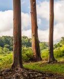 Detail of colorful bark of Rainbow Eucalyptus tree Stock Photography