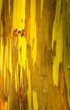 Detail of colorful bark of Rainbow Eucalyptus tree Royalty Free Stock Photography