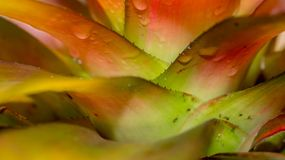 Detail of colorful bromeliad tricolor. this plant can be used as focal point of a garden stock images