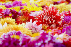 Detail Of Colorful Dahlia Flower Carpet Stock Images